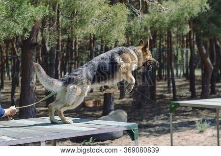 Agility Dog Activities. Dog Training. German Shepherd Jump Through The Training Bridge. Service Dog