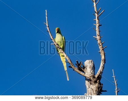 A Rose-ringed Parakeet, Psittacula Krameri, Perches On The Top Of A Dead Cedar Tree In A Park In Sag