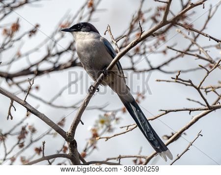 An Azure-winged Magpie, Cyanopica Cyanus, Perched In A Forest Tree In A Green Space Park Near Sagami