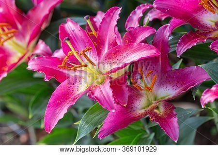 Asiatic Lily Flower Or Asiatic Lilies Flower In Garden At Sunny Summer Or Spring Day. Pink Flower.
