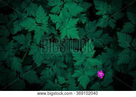 Dark Green Plant Texture. Dense Juicy Foliage Of Geranium Robertianum For A Beautiful Design On The