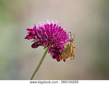 A Large Skipper Butterfly With Closed Wings, Sitting On A Bright Pink Knautia Macedonica Flower.