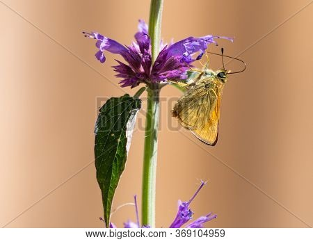A Large Skipper Butterfly With Closed Wings, Sitting On A Mauve Agastache 'blue Boa' Flower