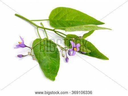 Solanum Dulcamara, Bittersweet, Bittersweet Nightshade, Bitter Nightshade. Isolated.