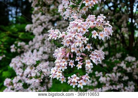 Catalpa-like Southern Tree Flowers In A Botanical Garden. Floral Background. Flowering Tree, Selecti
