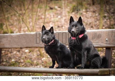 Young Females Of Schipperke Is Sitting On Brench. They Are So Patient Models.
