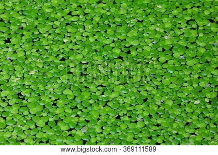 Close Up On Gotu Kola Leaves,dark Green Foliage Background,wallpaper Concept