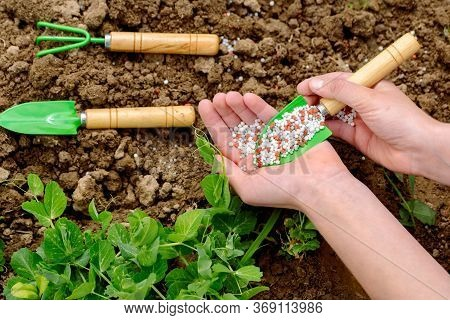 Girl Farmer Pours Fertilizer In Her Hands. Planting And Feeding, Harvesting On The Farm. Young Green