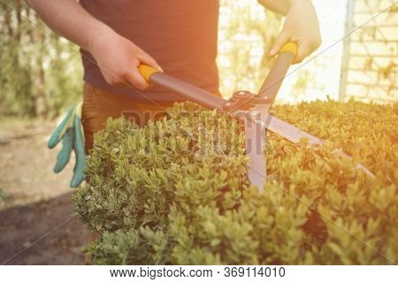 Man With Bare Hands Is Trimming A Green Shrub Using Hedge Shears On His Backyard. Gloves Are In His