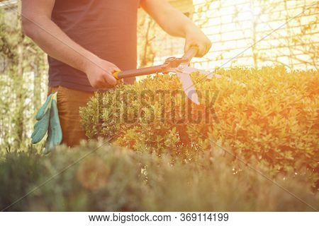 Guy With Bare Hands Is Trimming A Green Shrub Using Sharp Hedge Shears In His Garden. Worker Is Clip