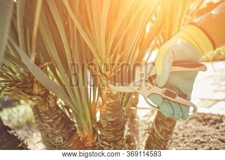 Hand Of Unrecognizable Grower In Colorful Glove Is Clipping Green Yucca Or Small Palm Tree With Prun