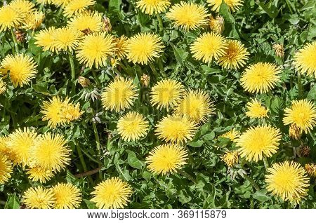 Bright Summer Background With Yellow Dandelion Flowers