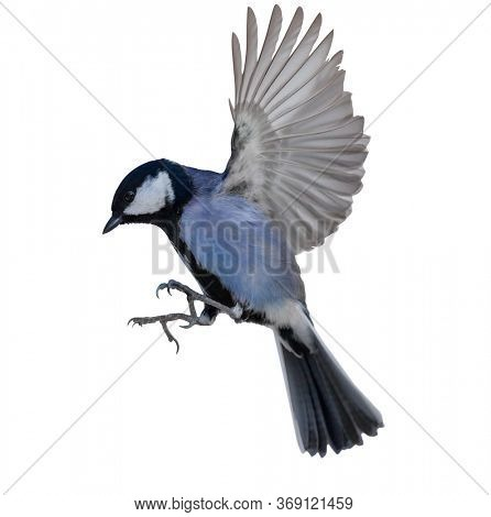 blue tit in flight isolated on white background