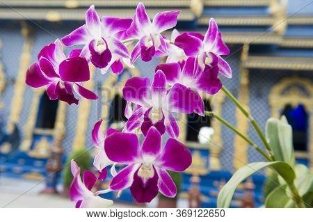 Thailand Chiang Rai Flowers Orchid