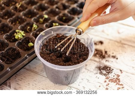 A Woman Makes A Hole In The Ground Using A Wooden Stick To Plant A Sprout In A Pot. Cells For Growin