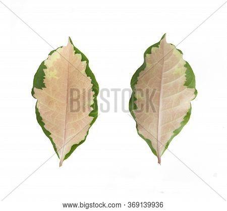 Caricature Plant, Gold Leaves. Graptophyllum Pictum Plant . Pseuderanthemum Atropurpureum Plant Leaf