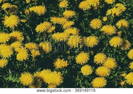 Background With Yellow Dandelion Flowers. Vintage Colors