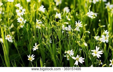 Nature Floral Background. Stellate White Flowers. Forest Plant Stellate Flowers In Spring With Small
