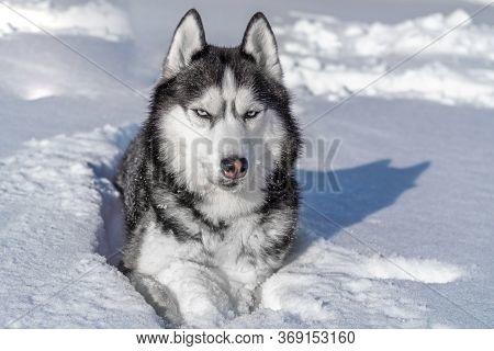 Siberian Husky Dog In Snow. Winter Portrait Siberian Husky Dog With Blue Eyes.