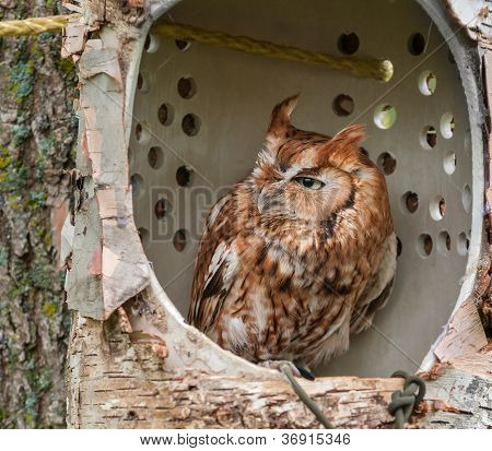 Eastern Screech Owl (Megascops asio) In Simulated Tree Cavity Perch