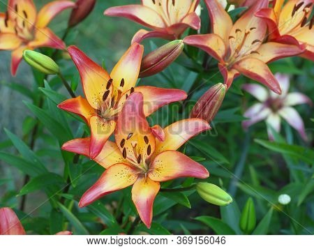 Closeup Orange Red Yellow White Lily Flowers In A Garden Bed, Macro Shot, Pistil And Stamen And Bud