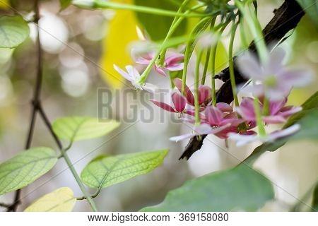 Shot Of Fresh Flowers Of Chinese Honeysuckle Or Rangoon Creeper Or Madhumalti With Blurred Backgroun