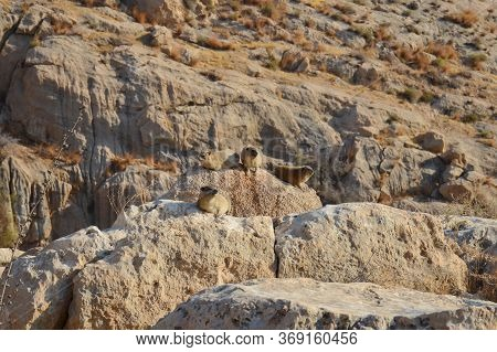 Rock Hyrax Procavia Capensis In The Wild, Ein Gedi National Reserve, Judaean Desert, Southern Israel