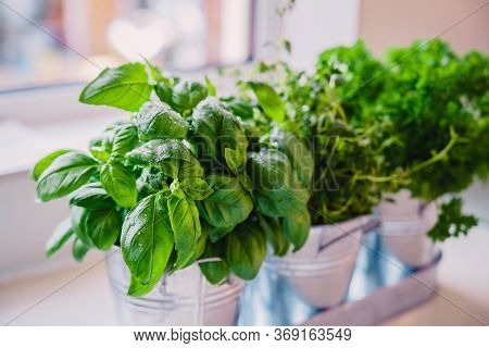 Selective Focus Homegrown Basil, Parsley And Thyme Herbs In Pots On The Kitchen In Front Of The Wind