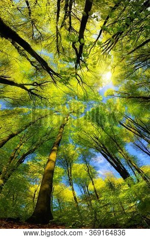 Majestic Super Wide Angle Upwards View To The Canopy In A Beech Forest With Fresh Green Foliage, Sun