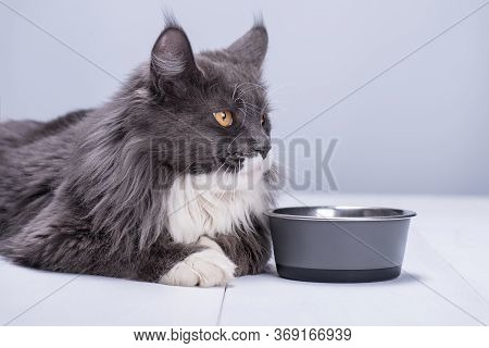 A Pedigree Cat With Beautiful Yellow Eyes, Lies On A White Floor, At An Empty Bowl And Waits For A F