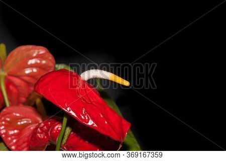 Large Red Anturium Flower With White And Yellow Stamen Isolated On Black Background