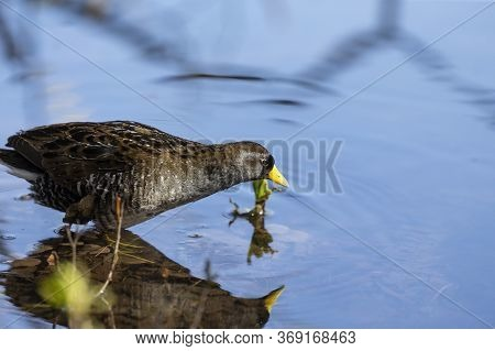 The Sora (porzana Carolina) , Small Water Bird  Looking For Food In Marsh Vegetation.
