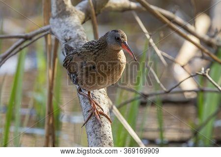 Animal, Background, Beak, Bill, Bird, Blue, Brown, Call, Closeup, Coot, Ecology, Environment, Fauna,