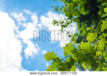 Selective Focus Shot Of Green Oak Leaves On The Cloudy Sky Background