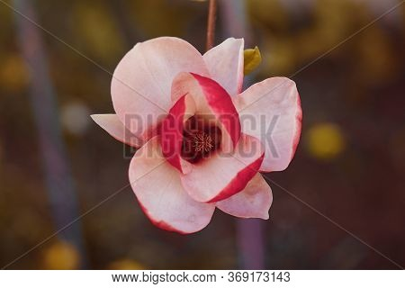 Flowering Magnolia Pink.magnolia Flower In Spring.soft Focus Image Of Blossoming Magnolia Flowers In