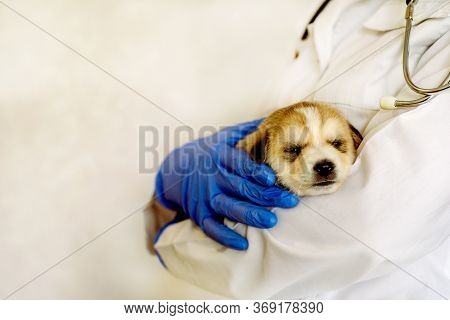 Cute White Puppy At The Vet Of A Doctor. Examination Of A Doctor And Vaccination Of A Dog In A Veter