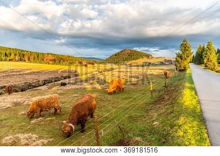 Highland Cattle - Scottish Breed Of Rustic Cattle In Jizerka Village With Bukovec Mountain On The Ba