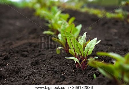 A Row Of Young Shoots Of Red Beet. Agricultural Beet Plantation In The Morning. Selective Focus.