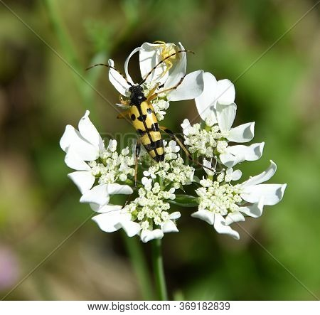 Beetle And Yellow Spider Fight Over White Flower