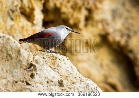 Interested Wallcreeper Sitting On Rocky Ridge In Mountainside