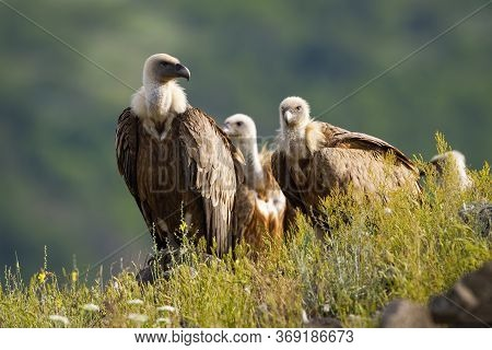 Numerous Flock Of Griffon Vulture Sitting On Horizon In Sunny Summer Morning