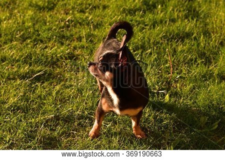 Chihuahua Dog Walks On The Grass At Sunset. Dog On Nature In Park. Chihuahua Walks In Forest. Dog Is