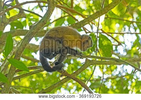 A Young Tufted Capuchin Monkey In The Trees In The Amazon In Brazil