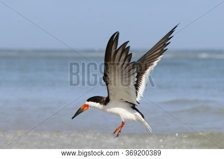 A Black Skimmer, Rynchops Niger In Flight Above Shallow Water At The Shoreline In Florida