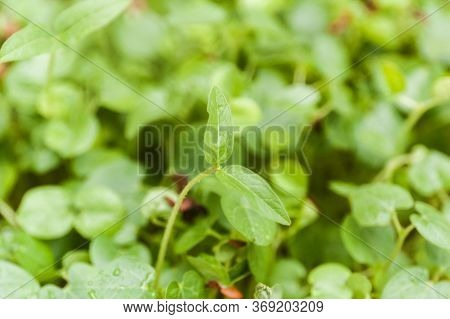 Top Closeup View Of Young Green Plants Growing In Natural Sunlight. Young Sprouts , Micro Green Conc