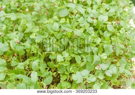 To View Of Young Green Plants Growing In Natural Background. Young Sprouts , Micro Green Concept.