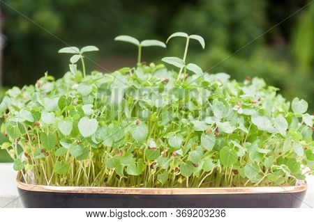 Side View Of Young Green Plants Growing In A Tray In Natural Background. Young Sprouts , Micro Green