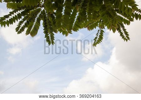 Star Gooseberry Or Phyllanthus Acidus Leaf On White Cloud And Blue Sky Background.