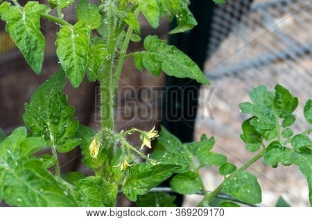 Pests Crawling Over The Leaves And Flowers Of A Tomato Plant In A Home Garden In Summer