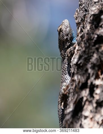 Close Up Of A Large Blue Throated Lizard Climbing A Tree In Northern Arizona.